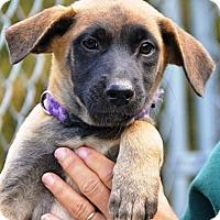 Adopt A Pet :: Dre - Pleasant Plain, OH