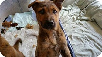 Shepherd (Unknown Type) Mix Dog for adoption in Lakeville, Minnesota - Tab