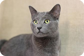 Russian Blue Cat for adoption in Midland, Michigan - Simon