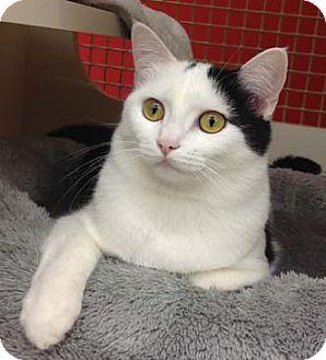 Domestic Shorthair Kitten for adoption in Merrifield, Virginia - Chrissy