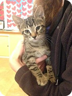 Domestic Shorthair Cat for adoption in Tallahassee, Florida - Timo