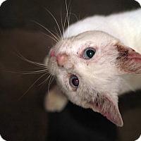 Adopt A Pet :: Oldman - St. Louis, MO