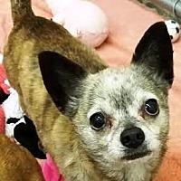 Chihuahua Mix Dog for adoption in Kalamazoo, Michigan - Tango