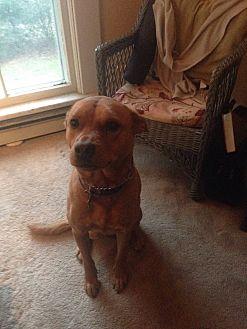Carolina Dog/Chow Chow Mix Dog for adoption in Jamaica Plain, Massachusetts - Deli