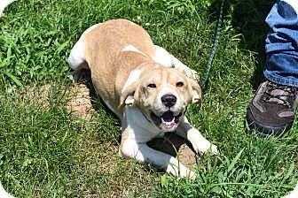Shar Pei/Beagle Mix Dog for adoption in North Judson, Indiana - Blossom