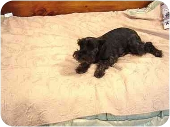 Schnauzer (Miniature) Dog for adoption in Bethel Springs, Tennessee - Midnight