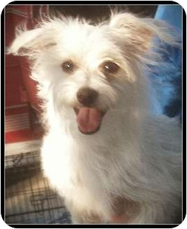 Terrier (Unknown Type, Small) Mix Puppy for adoption in Temecula, California - Allie
