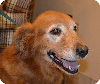 Golden Retriever Dog for adoption in White River Junction, Vermont - Ruby