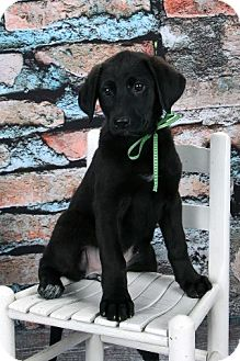 Labrador Retriever/German Shepherd Dog Mix Puppy for adoption in Northville, Michigan - Sydney