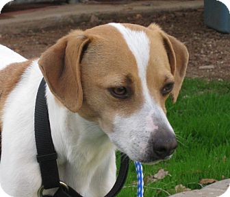 Jack Russell Terrier Mix Dog for adoption in Scottsdale, Arizona - BONNIE
