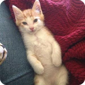 Domestic Shorthair Kitten for adoption in Gilbert, Arizona - Gilbert