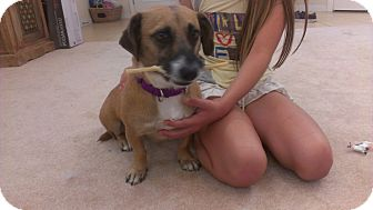 Jack Russell Terrier/Dachshund Mix Dog for adoption in Burbank, California - Sundae