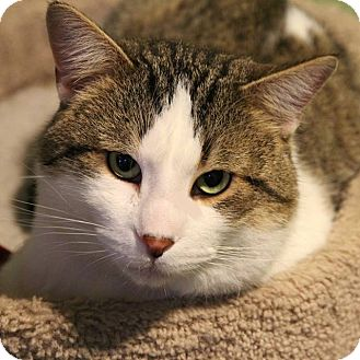 Domestic Shorthair Cat for adoption in Columbia, Illinois - Pickels
