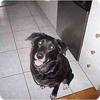 Adopt A Pet :: Miss Shadow - Rigaud, QC