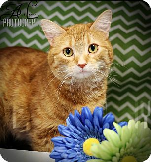 Domestic Shorthair Cat for adoption in Plymouth, Minnesota - Marigold