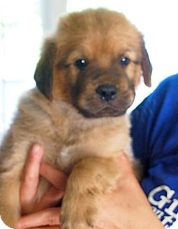 Labrador Retriever/Hound (Unknown Type) Mix Puppy for adoption in Rockville, Maryland - Rhett