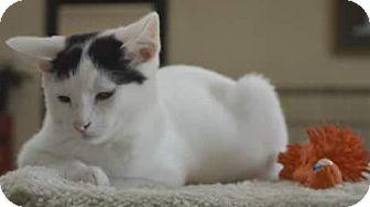 Domestic Shorthair Kitten for adoption in Miami, Oklahoma - Bullwinkle
