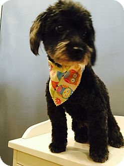 Poodle (Miniature) Dog for adoption in Fairview Heights, Illinois - Missy