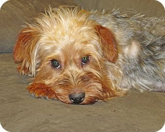 Yorkie, Yorkshire Terrier Dog for adoption in Plano, Texas - TEDDY BEAR - CUDDLY CUTIE