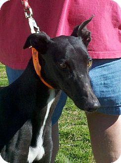 Greyhound Dog for adoption in Randleman, North Carolina - Aimee