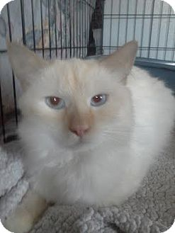 Balinese Cat for adoption in Columbus, Ohio - Apollo
