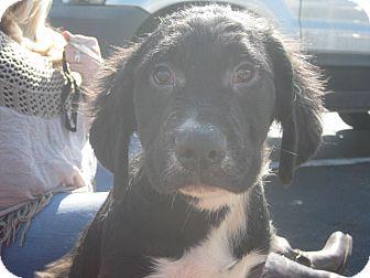 Newfoundland/Labrador Retriever Mix Puppy for adoption in Portland, Maine - Cary Grant