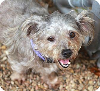 Yorkie, Yorkshire Terrier/Schnauzer (Miniature) Mix Dog for adoption in Woonsocket, Rhode Island - Tangley