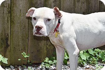 Boxer/American Bulldog Mix Dog for adoption in Schaumburg, Illinois - SIMON
