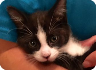 Domestic Shorthair Kitten for adoption in Meridian, Idaho - Jerry Garcia