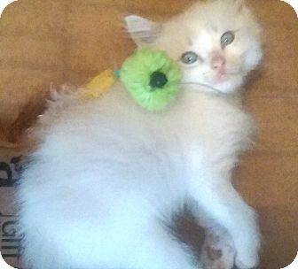 Domestic Shorthair Kitten for adoption in Savannah, Georgia - Windy