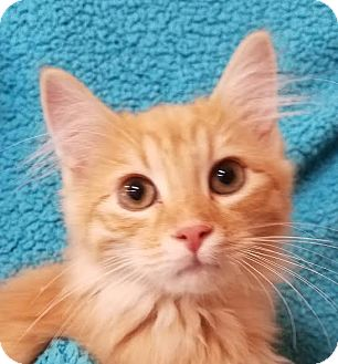 Domestic Mediumhair Kitten for adoption in Colfax, Iowa - Dallas