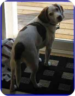 Beagle Dog for adoption in Hamilton, Ontario - Lucky