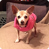 Adopt A Pet :: Tinkerbell - Austin, TX