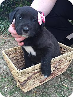 Cocker Spaniel/Labrador Retriever Mix Puppy for adoption in Matawan, New Jersey - Elsa (adoption pending)