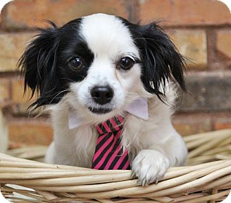 Chihuahua Mix Dog for adoption in Benbrook, Texas - Pepe