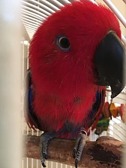 Eclectus for adoption in St. Louis, Missouri - Ruby