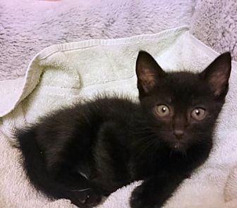 Domestic Shorthair Kitten for adoption in Nashua, New Hampshire - Tucker