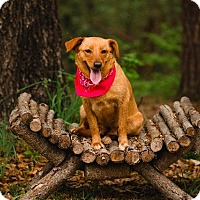 Labrador Retriever/Corgi Mix Dog for adoption in Ellaville, Georgia - Khaleesi