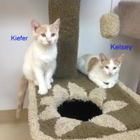 Domestic Shorthair/Domestic Shorthair Mix Cat for adoption in Crossfield, Alberta - Kelsey