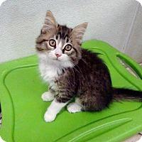 Domestic Longhair Cat for adoption in Belleville, Michigan - Primrose