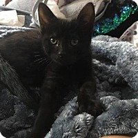 Domestic Shorthair Kitten for adoption in Napa, California - Kitten - Ninja
