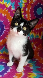 Domestic Shorthair Cat for adoption in Hornell, New York - Raven