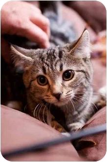 Bengal Kitten for adoption in Cincinnati, Ohio - Tonya