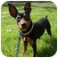 Photo 3 - Miniature Pinscher Dog for adoption in Nashville, Tennessee - Niko