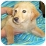 Photo 2 - Golden Retriever/Chow Chow Mix Puppy for adoption in Murphysboro, Illinois - Sandy