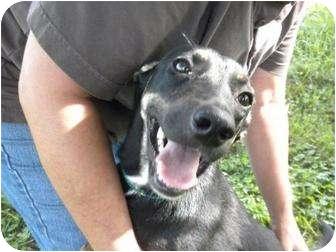 Miniature Pinscher/Whippet Mix Dog for adoption in Shelbyville, Kentucky - Daisy