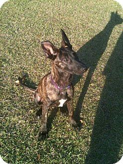 Dutch Shepherd Puppy for adoption in Miami, Florida - Ember