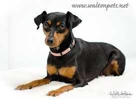 Miniature Pinscher Dog for adoption in McDonough, Georgia - Kiah