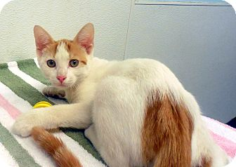 Domestic Shorthair Cat for adoption in Sylva, North Carolina - Morgan