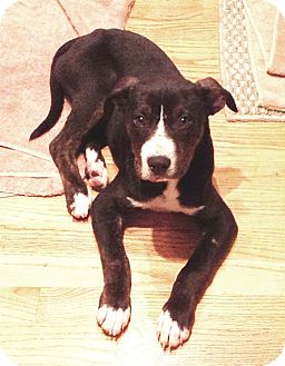 Boxer/Labrador Retriever Mix Puppy for adoption in West Los Angeles, California - Risotto